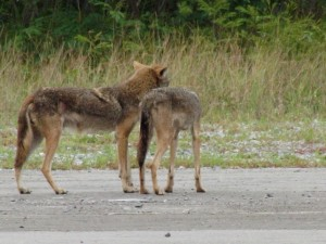 18-mayo-coyote