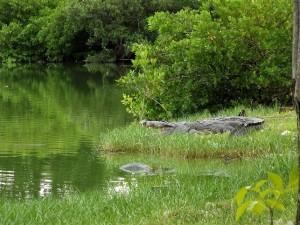 0511-cocodrilos en la laguna del carpintero